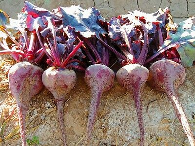 Vegetable  Beetroot  Bulls Blood  850 Finest Seeds