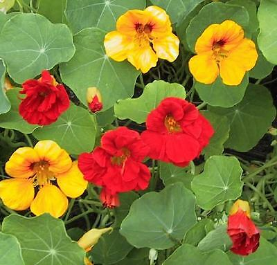 Flower  Nasturtium  Tropaeolum Jewel Mix  160 Finest Seeds