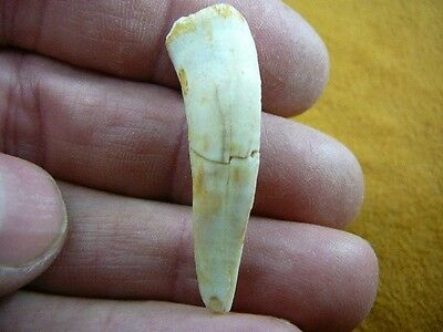 """(f510-21) 1-1/8"""" Enchodus Saber toothed Herring fish tooth Fossil I love fossils"""