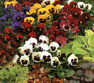 Flower Pansy Giant Swiss Mixed  1300 Finest Seeds