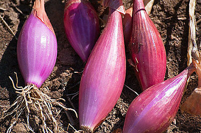 Vegetable Onion Long Red Florence  6 Gram ~ 2280 Seeds  Italian Heirloom