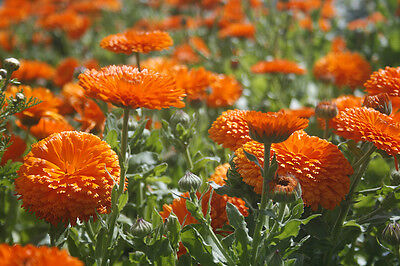 Flower Calendula Orange King 400 Flower Seeds