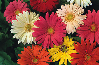 Flower Gerbera Jamesonii Hybrids Mix  110 Seeds