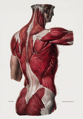 ML25 Vintage 1800's Medical Human Back Body Muscles Anatomy Poster A2/A3/A4