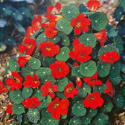 Flower Nasturtium Empress Of India 160 Finest Seeds  Tropaeolum