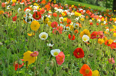 Flower Papaver Poppy Nudicaule Iceland Mix  5000 Seeds