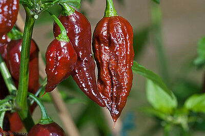 Vegetable  Hot Chilli Pepper Bhut Jolokia Chocolate  10 Seeds