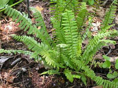 5 Spleenwort fern ferns