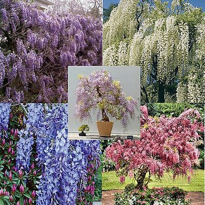 Wisteria vine 5 colors and varieties 10, 50, 100, 500, 1000 seeds choice listing