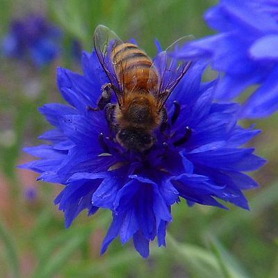Flower Cornflower Centaurea Cyanus Blue Boy 1400 Finest Seeds