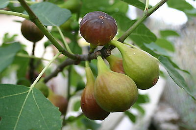 Large Fig Tree 'Brown Turkey' 1ft Tall in a 2LPot.Ready to Fruit, Sweet Taste