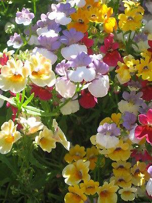 Flower Nemesia Strumosa Carnival Mixture - 3500 Seeds