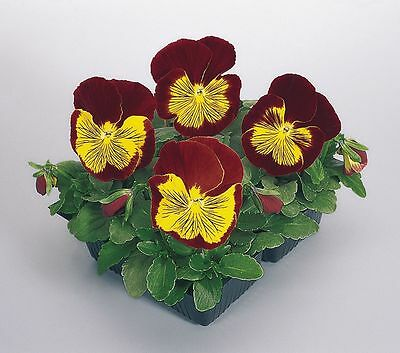 Flower Pansy Whiskers Series F1 Gold / Red 250 Finest Seeds