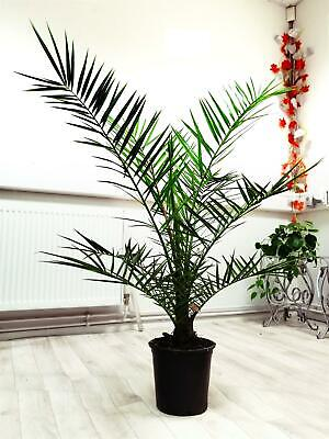 Phoenix Canariensis Canary Island Date Palm @ Pot Indoor Outdoor Tree Plant
