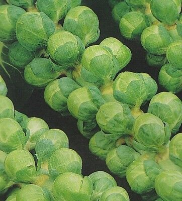 Organic Vegetable  Brussel Sprouts Groninger   100 Seeds