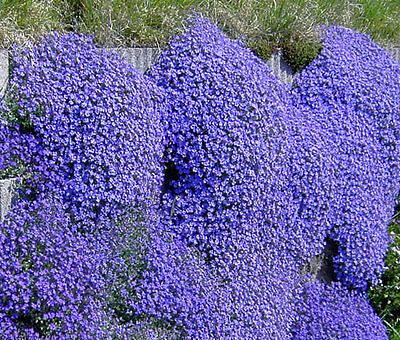Perennial Flower Aubrieta Gracillis Rock Cress Royal Blue 0.15 Gram