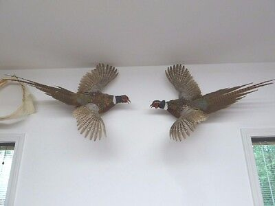 (SAF-60) Male PHEASANTS pair WALL mount WILD Taxidermy feathers pheasant bird