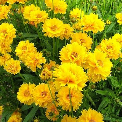 Perennial Flower Coreopsis Early Sunrise 70 Seeds