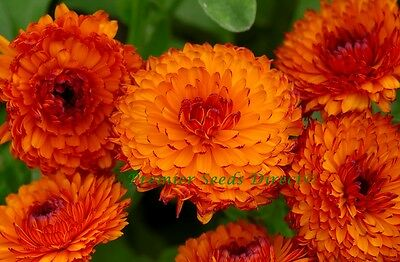 Flower Calendula Neon 1 Gram ~ Approx 200 Flower Seeds