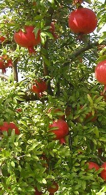 2** FRUIT TREES ** PAW * * PAW ** TREE ***PLUS*** RUSSIAN POMEGRANATE 6-10 INCH