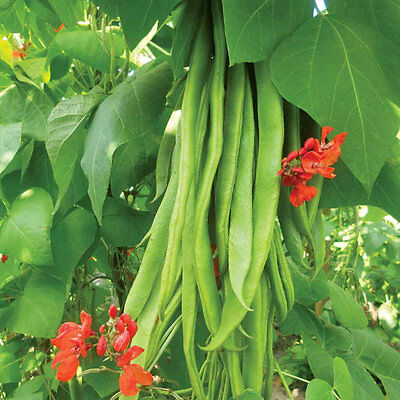 Vegetable  Runner Bean  Scarlet Emperor  70 Gram ~  70 Finest Seeds