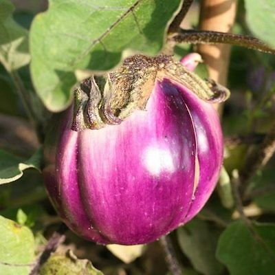 Vegetable  Aubergine  Violetta Di Firenze  500 Seeds