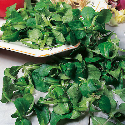 3g (appr. 2100)  corn salad seeds VOLHART 3 lambs lettuce French salad Valuable