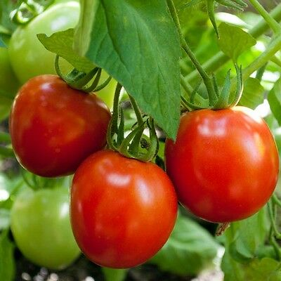 Tomato - Glacier - 100 Finest Seeds - Early - Cold Hardy