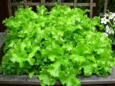 Oak Leaf Lettuce Cut And Come Again Bumper Seed Deal Thousands Of Seeds
