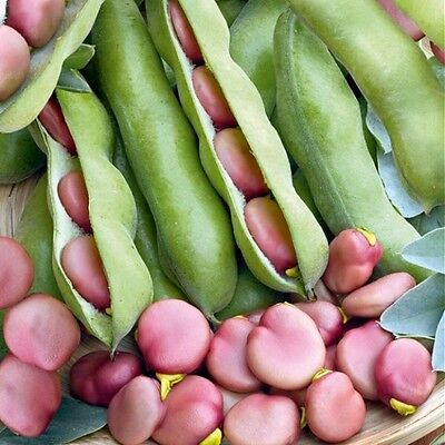 Vegetable  Broad Bean Pink  Karmazyn  75 Gram ~ Approx 45-55 Seeds