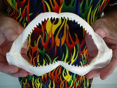 "(#SJ440-40) Spottail SHARK 8"" wide jaw sharks jaws teeth taxidermy biology"