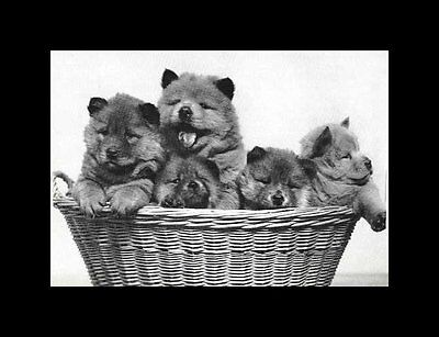 Chow Chow Pups - Vintage Dog Print - MATTED