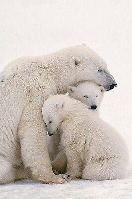 ANIMAL POSTER ~ POLAR BEAR FAMILY 24x36 Animals Bears Arctic