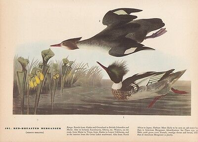 "1942 Vintage AUDUBON BIRDS #202 /""RED THROATED LOON/"" Color Art Plate Lithograph"