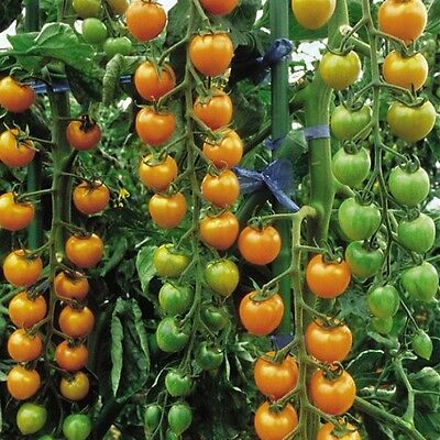 Vegetable Tomato Cherry Sungold F1 100 Finest Seeds Bulk