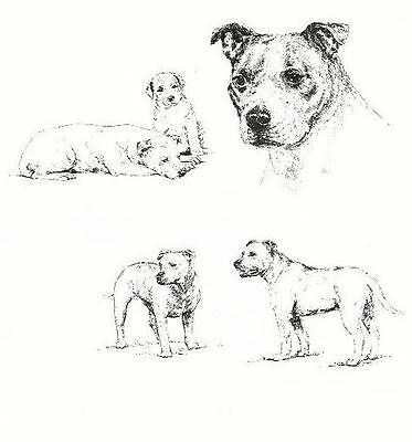 Staffordshire Bull Terrier - 1963 Vintage Dog Print - Matted *