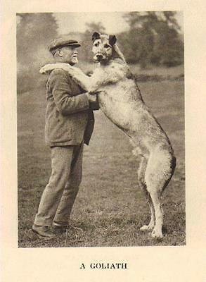 "Irish Wolfhound ""P"" - 1931 Vintage Dog Print - MATTED"