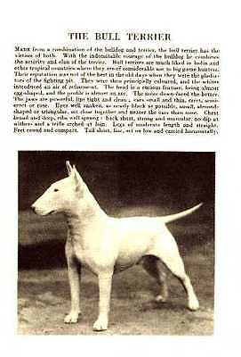 * Bull Terrier - 1931 Vintage Dog Print - MATTED