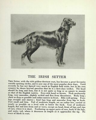 * Irish Setter - 1931 Vintage Dog Print - MATTED