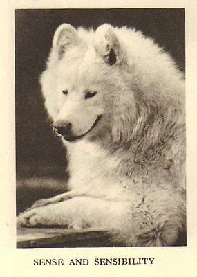 "* Samoyed ""P"" - 1931 Vintage Dog Print - MATTED"