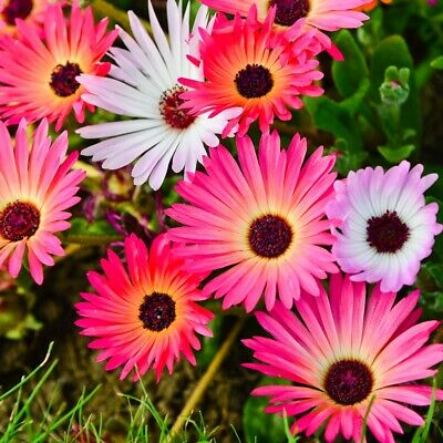 Flower Mesembryanthemum Pastel Mixed 4500 Flower Seeds
