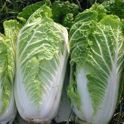 Chinese Cabbage Wong Bok  5 Gram ~  1616  Finest Seeds