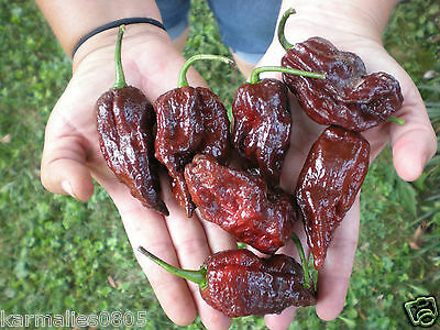 (10) CHOCOLATE BHUTLAH    ***Super Hot Chili Pepper Seeds***