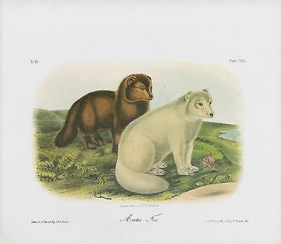 "1989 Vintage ""ARCTIC FOX"" A GORGEOUS AUDUBON WHITE MAMMAL COLOR Art Lithograph"