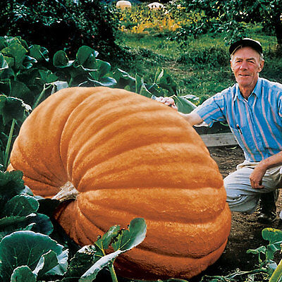 Pumpkin - Dills Atlantic Giant - 7 Finest Seeds **free Uk P&p**