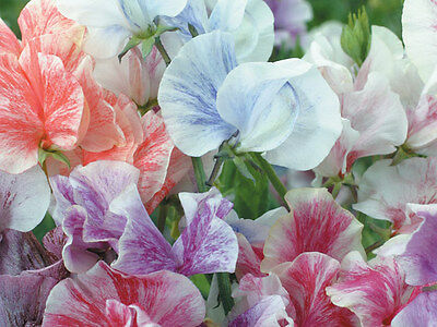 Flower Sweet Pea Heaven Scent Mix 40 Finest Seeds
