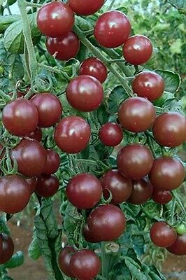Vegetable Tomato Black Opal 20 Finest Seeds