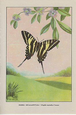 "1917 Vintage BUTTERFLY ""ZEBRA SWALLOWTAIL"" WOW LOVELY COLOR ART PLATE Lithograph"
