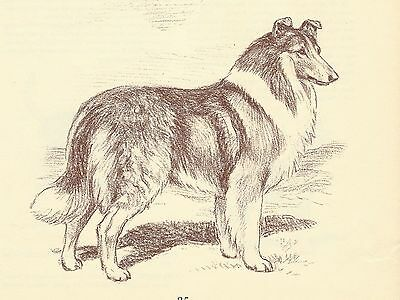 Collie - Vintage Dog Print - 1954 Megargee