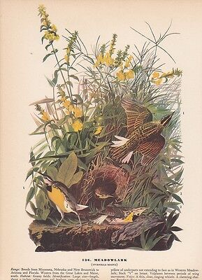 "1942 Vintage AUDUBON BIRDS #136 ""MEADOWLARK"" Full Color Art Plate Lithograph"